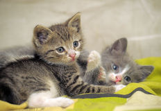 Two kittens playing. Closeup of two kittens playing royalty free stock image