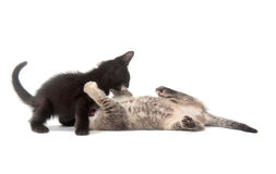 Two kittens playing and fighting Royalty Free Stock Image