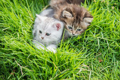 Two kittens playing Royalty Free Stock Photos