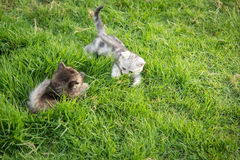 Two kittens playing Royalty Free Stock Photography