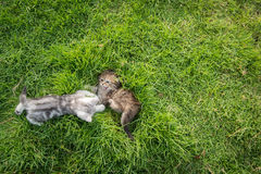 Two kittens playing Stock Image