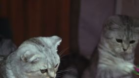 Two kittens playing lazily. Stock footage stock footage