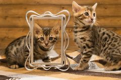 Two kittens playing with photo frame on the background of a wooden wall. Two kittens playing with photo frame on the background of wooden wall Stock Photography
