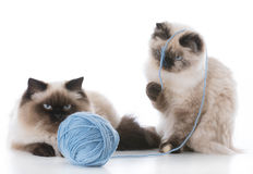 Two kittens playing Royalty Free Stock Images