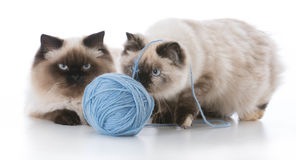 Two kittens playing Royalty Free Stock Image