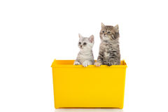Two kittens playing in yellow box Royalty Free Stock Image