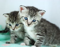 Two Kittens Portrait. Portrait of two adorable gray tiger kittens against an aqua background Stock Photos