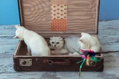 Two kittens of Scottish Straight breed and a young chinchilla ca. T sits inside vintage suitcase on blue background toned picture close-up shallow depth of field Royalty Free Stock Images