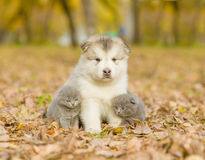 Two kittens sitting with alaskan malamute puppy in autumn park Stock Images