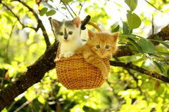 Two kittens sitting in the basket hanging on the tree Royalty Free Stock Images