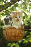 Two kittens sitting in the basket hanging on the tree Royalty Free Stock Image