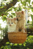 Two kittens sitting in the basket hanging on the tree Stock Images