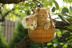 Two kittens sitting in the basket hanging on the tree Stock Photos
