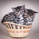 Two kittens sitting in a basket together. On polka dot background Stock Photography