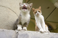 Two Kittens Sitting on a Step. With one kitten miaowing Royalty Free Stock Photos
