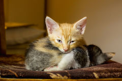 Two kittens sleeping on a chair. Ginger kitten looking at the ca Stock Image