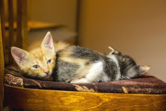 Two kittens sleeping on a chair. One looking at the camera Stock Images