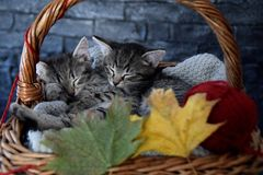 Two kittens sleeping in a wicker basket with leaves and red ball of strin. Beautiful two kittens sleeping in a wicker basket with leaves and red ball of strin Stock Images