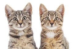 Two kittens. royalty free stock image