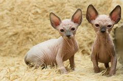 Two kittens of the Sphynx royalty free stock image