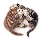 Two kittens struggle top view Stock Images