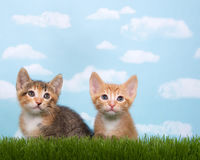 Two kittens in tall grass with blue sky background white fluffy. Clouds. Looking up to front. Horizontal presentation with copy space above and to side Royalty Free Stock Images