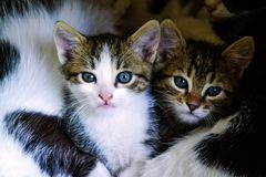 Two kittens. Layng with their mom and looking at he camers Royalty Free Stock Photography