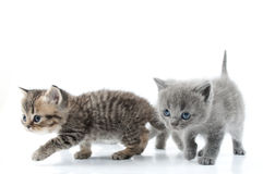 Two Kittens Walking Towards Together. Studio Shot. Over Stock Photo