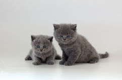 Two kittens on white. Two scottish straight kittens on white Royalty Free Stock Photo