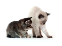 Two kittens on white background Royalty Free Stock Images