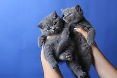 Two kittens in woman hand, British Shorthair. Cute small baby cats in woman`s hands, British Shorthair kitten against a blue background royalty free stock photos