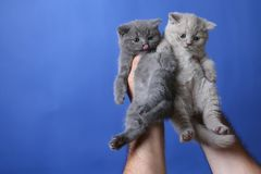 Two kittens in woman hand, British Shorthair. Cute small baby cats in woman`s hands, British Shorthair kitten against a blue background royalty free stock photo