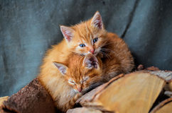 Two kittens. Two yellow kittens with blue eyes, sleeping on a pile of firewood Royalty Free Stock Image