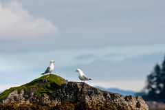 Two Kittiwakes Stock Image