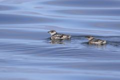 two kittlitzs murrelet that are floating on the water on a su stock photo
