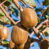 Two kiwi fruits Royalty Free Stock Photography