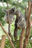 Two Koala Bears or Phascolarctos cinereus, clinging to top of tree branch with green blurred background. Loking to left royalty free stock image