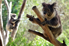 Two Koala climb on an eucalyptus tree Royalty Free Stock Photos