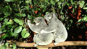 Two Koala`s and a Baby on a Branch