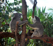 Two Koalas holding hands and looking away, sitting on a branch Stock Photo