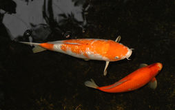 Two Koi in Pond Royalty Free Stock Photos
