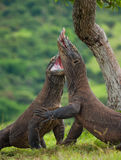 Two Komodo dragons fighting over a piece of food. Indonesia. Komodo National Park. An excellent illustration Royalty Free Stock Photo