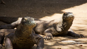 Two komodo dragons sitting still looking out at komodo national park. Two komodo dragons sitting still looking out at komodo national park, lndonesia Royalty Free Stock Images