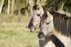 Two Konik Horses Royalty Free Stock Photos