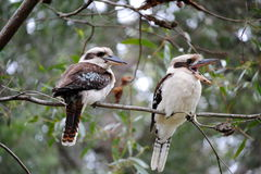 Two kookaburras or laughing birds sitting in a tree Stock Images