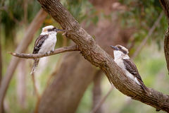 Two kookaburras Stock Photos