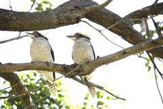 Two kookaburras sitting on a tree branch Stock Photo
