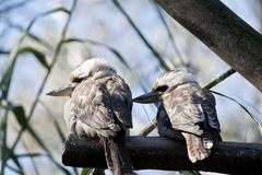 Two kookaburras. Sitting on a tree branch Stock Images