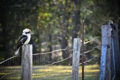 Two Kookaburras. Sitting on a wire fence Royalty Free Stock Images