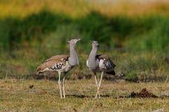Two kori bustard, etosha nationalpark, namibia Stock Photos